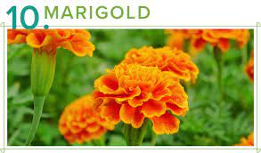 Meri Gold